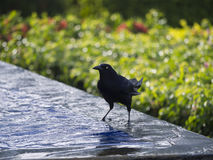 Great Grackle male bathing in water Stock Images