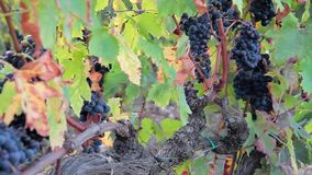 Great grape harvest at the old vine - Autumn in Tuscany. Nature stock video