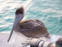 Great gray or eastern gray pelican royalty free stock photos