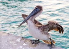 Great gray or eastern gray pelican royalty free stock photography