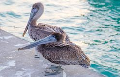 Great gray or eastern gray pelican royalty free stock images