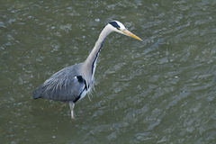 Great gray heron hunting. Great gray heron close-up. Wildlife. Switzerland stock photography