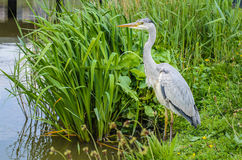 Great gray heron waiting for a catch. Great gray Heron watching and waiting for a catch at the lake Stock Photos