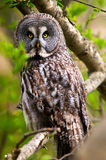 Great Gray Owl. During a rare day of hunting Royalty Free Stock Image
