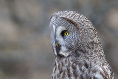 Great Gray Owl. Portrait of a Great Gray owl. The Great Grey Owl or Lapland Owl, Strix nebulosa, is a large owl distributed across the Northern Hemisphere. Also stock photography