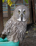 Great gray owl.  Stock Images