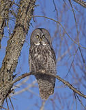 Great Gray Owl. An incredible Great Gray Owl (Strix nebulosa) perched on a branch in Ottawa, Canada Royalty Free Stock Images