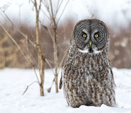 Great gray owl Royalty Free Stock Image