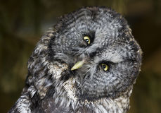 Great Gray Owl. Perched, looking into the camera stock photo