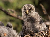 Great gray owl baby. Close up portrait of a great gray owl baby in its nest. Owls are good parents Stock Image