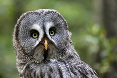 Great gray owl Stock Photos