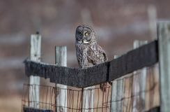 Great Gray Owl in Canada stock image