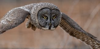 Great Gray Owl in Canada royalty free stock photo