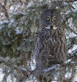 Great Gray Owl Stock Photos