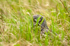 Great Gray Owl catch the prey. Great Gray Owl during a rare day of hunting Stock Images