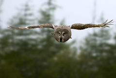 Great Gray Owl dives for prey Royalty Free Stock Image