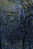 Great Gray Owl at Dusk Stock Image