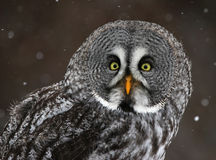 Great Gray Owl Face. The face of a Great Grey Owl (Strix nebulosa) with snow falling in the background Stock Photo