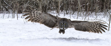 Great gray owl in flight. Great gray owl catches prey in the snow. Flight shot with open wings. Winter in Winnipeg, Canada royalty free stock photos