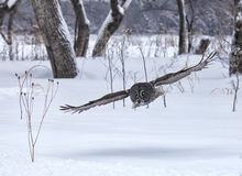 Great gray owl in flight Stock Photo