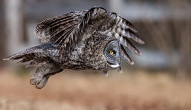Great Gray Owl Royalty Free Stock Photos