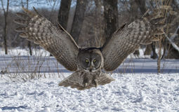 Great Gray Owl. In flight coming directly toward the camera. Winter in Canada royalty free stock photo