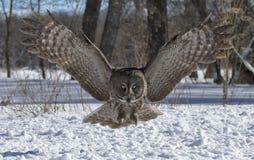 Great Gray Owl royalty free stock photo