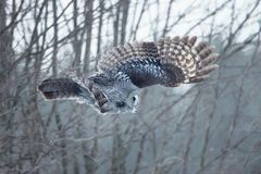 Great gray owl in flight Royalty Free Stock Image