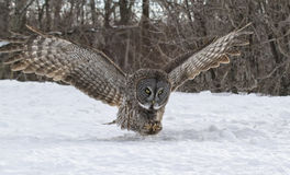 Great Gray Owl in flight Stock Images