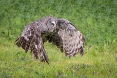 Great gray owl flying. A close photograph of a great gray grey owl Strix nebulosa in flight. Flying from left to right in the frame stock photography
