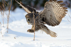 Great Gray Owl flying Royalty Free Stock Photos