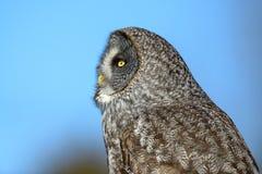 Great Gray Owl flying Stock Photos