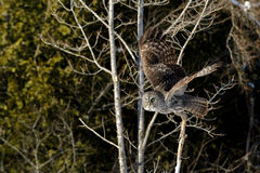 Great Gray Owl flying Royalty Free Stock Photography