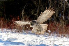 Great Gray Owl flying Royalty Free Stock Images