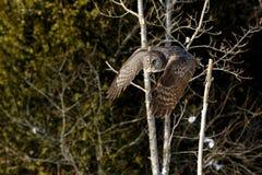 Great Gray Owl flying Stock Image