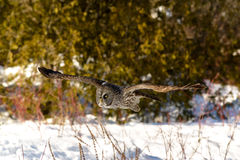 Great Gray Owl flying Royalty Free Stock Photo