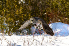 Great Gray Owl flying Stock Photography