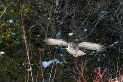 Great Gray Owl flying Stock Images