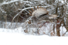 Great Gray Owl flying Royalty Free Stock Image