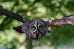 Great Gray Owl or Great Grey Owl Strix nebulosa. Flying at camera royalty free stock photo