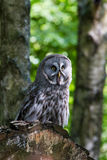 Great Gray Owl  or Great Grey Owl Strix nebulosa Royalty Free Stock Photography