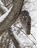 Great gray owl Stock Images