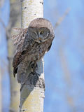 Great gray Owl hunting, alert Stock Photo