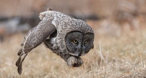 Great Gray Owl Hunting royalty free stock photography