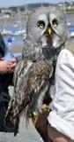 Great Gray Owl. Latin name Strix nebulosa stock photos