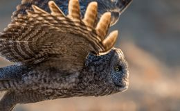 Great Gray Owl. In New hampshire Royalty Free Stock Images
