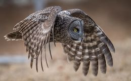 Great Gray Owl. In New Hampshire Royalty Free Stock Photography