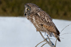 Great Gray Owl Stock Image