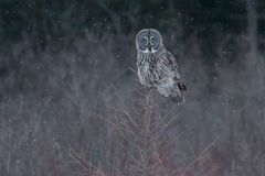 Great Gray Owl royalty free stock images