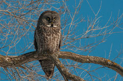 Great Gray Owl. Perched in a tree royalty free stock images